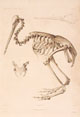 d'Urville skeleton