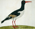 Albin oystercatcher, link to Albin, archive page