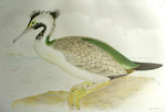 Spotted Cormorant, link to Broinowski prints
