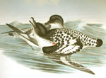 Cape Petrel, link to John Gould, Birds of Australia