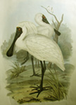 Royal Spoonbill, link to John Gould, Birds of Australia in the archive